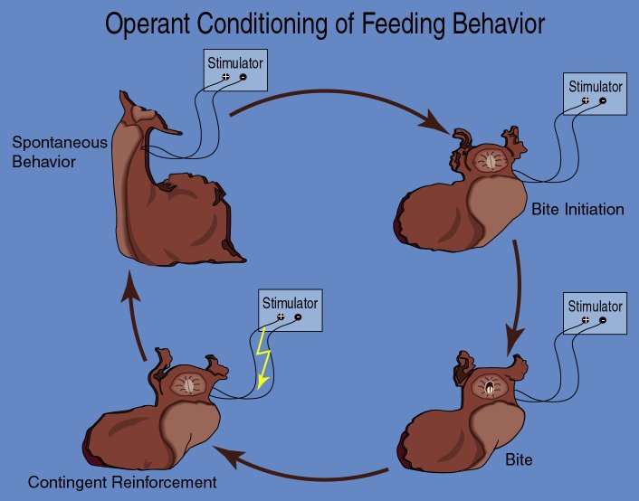 operant conditioning of feeding behavior in Aplysia