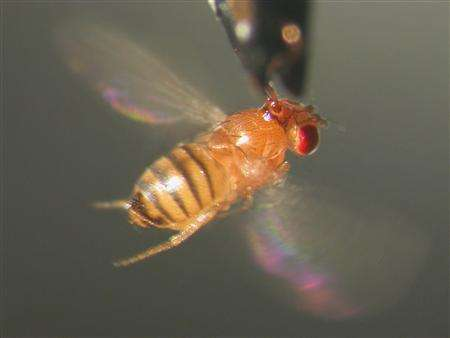 Pictures Of Fruit Flies. Science Image: A fruit fly is